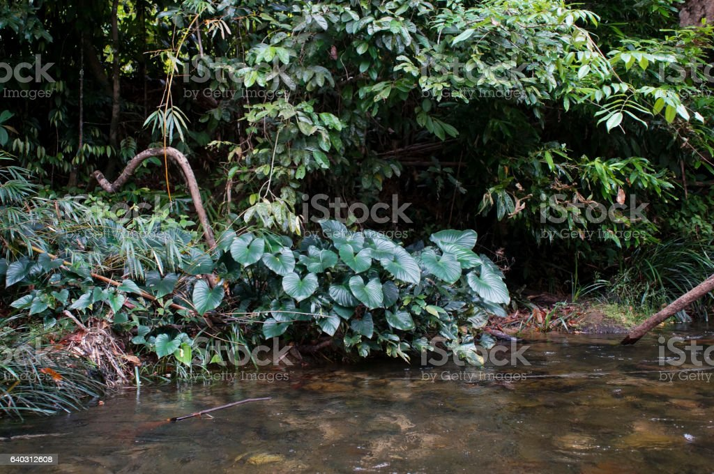 green leaves anubias along the river in Thailand stock photo