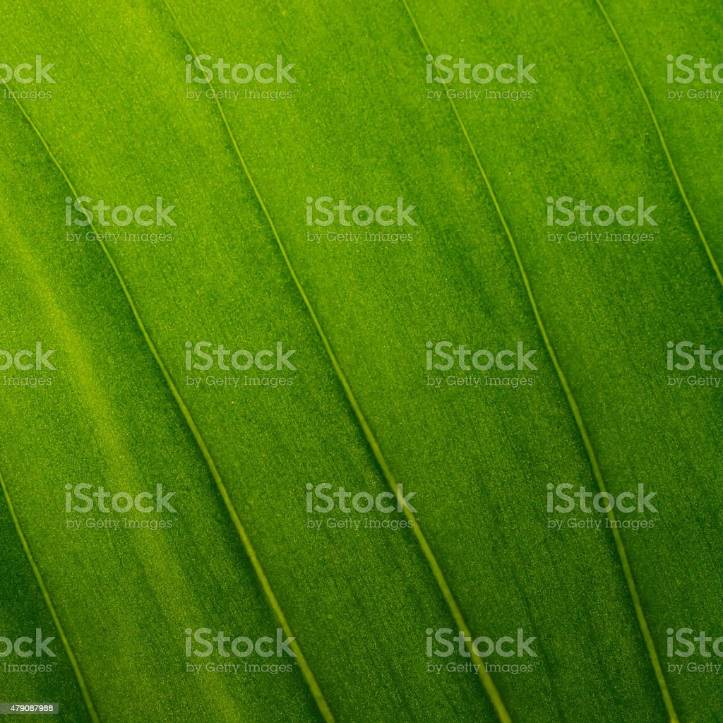 Green leaves as background texture stock photo