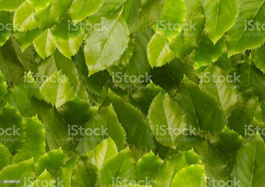 Green leaves background, close-up. stock photo