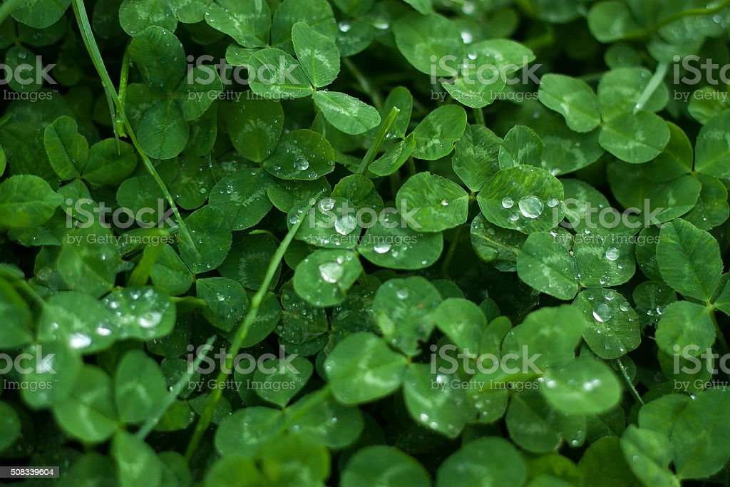 green leaves background.Clover leaf with dew drops stock photo