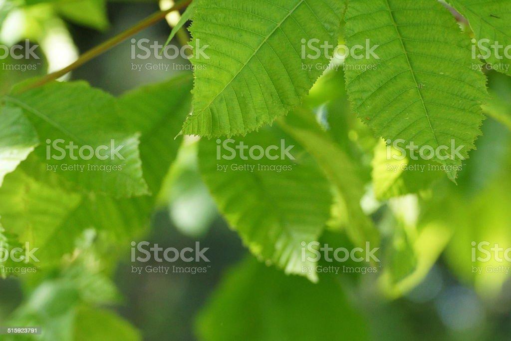 Green leaves/ Blattgr?n stock photo
