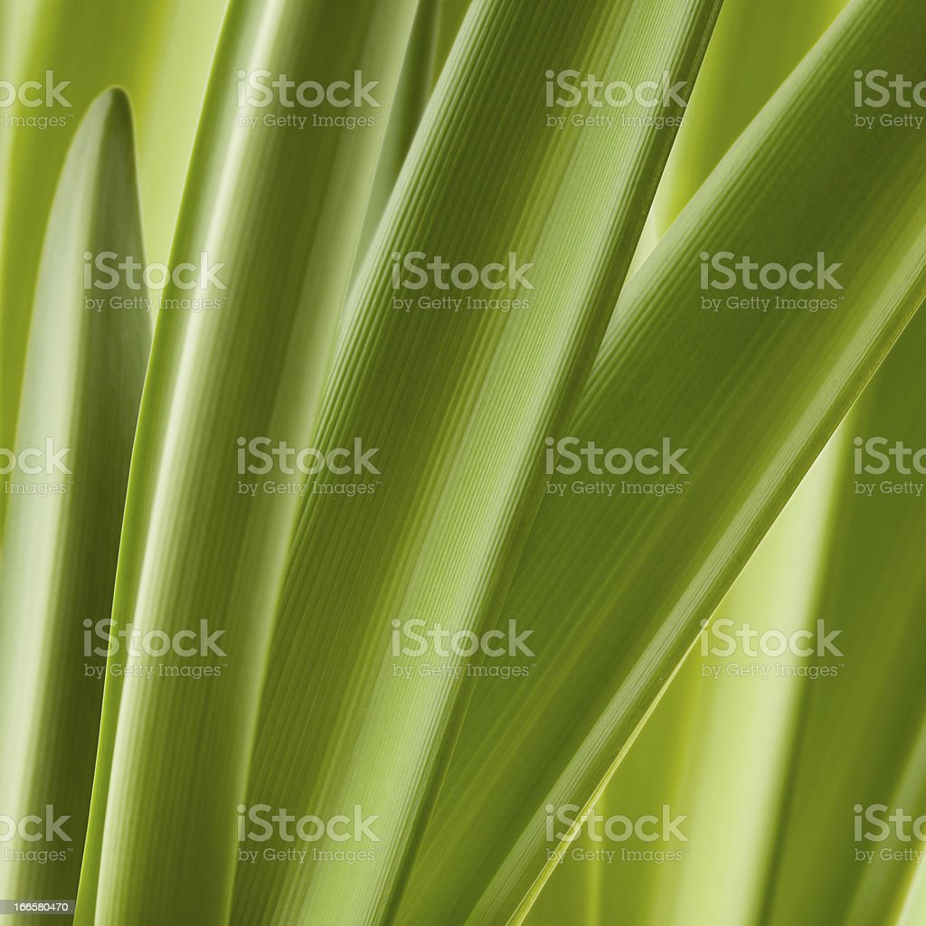 Green leaves close-up royalty-free stock photo