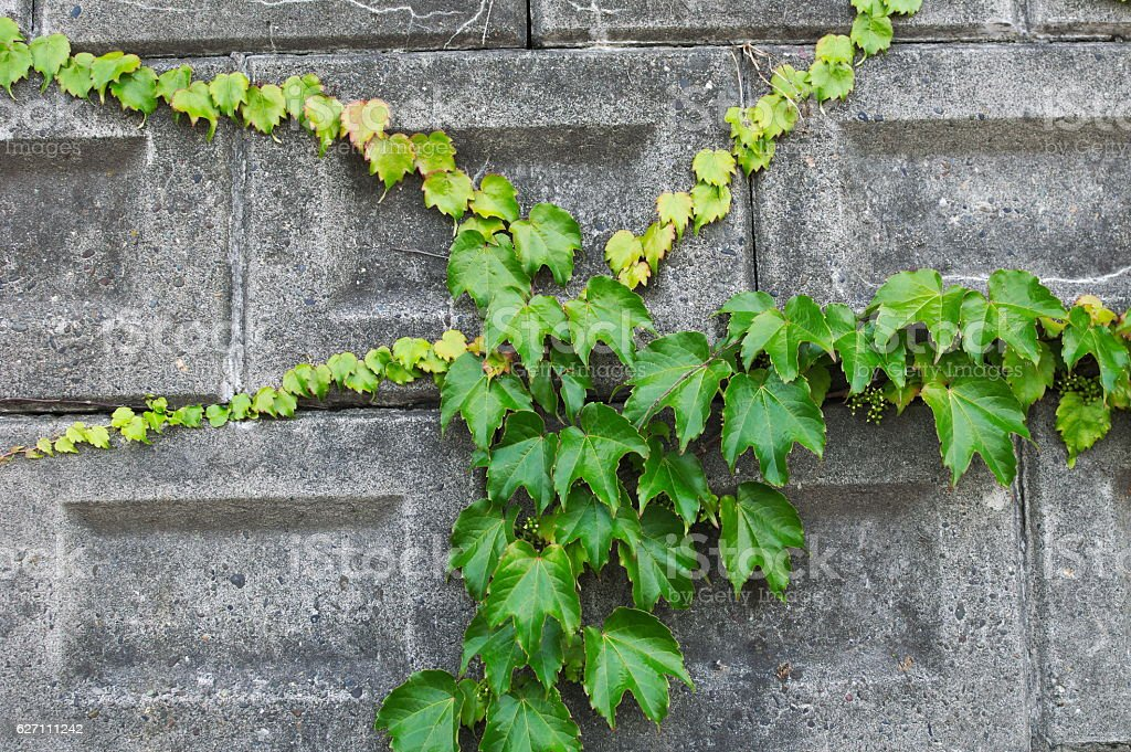 Green leaves criss cross a concrete wall stock photo