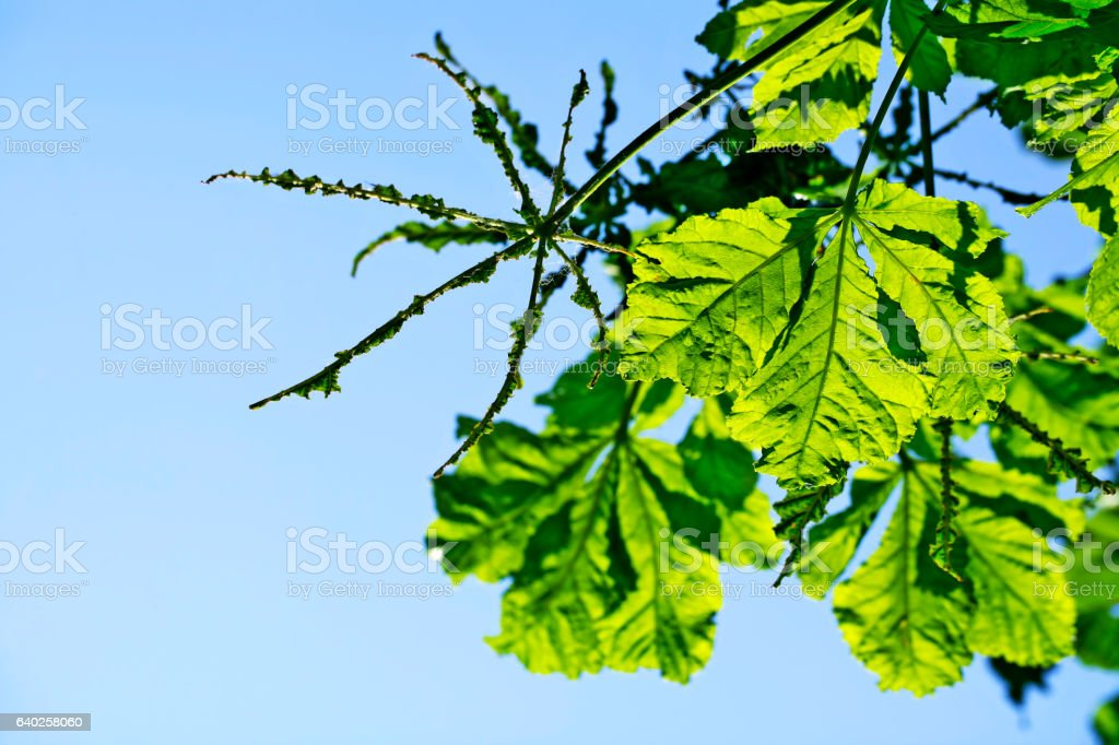 Green leaves (chestnut tree) eaten by may bug (june beetle) stock photo