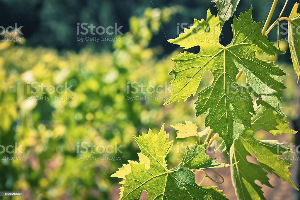Green Leaves from a Vineyard, Chianti Region in Italy stock photo