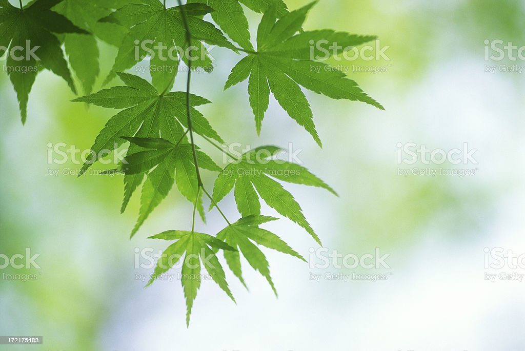 Green leaves in a forest royalty-free stock photo