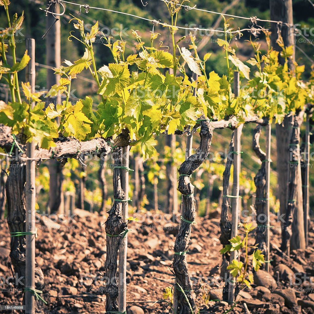 Green Leaves in a Vineyard, Grapes are Growing stock photo