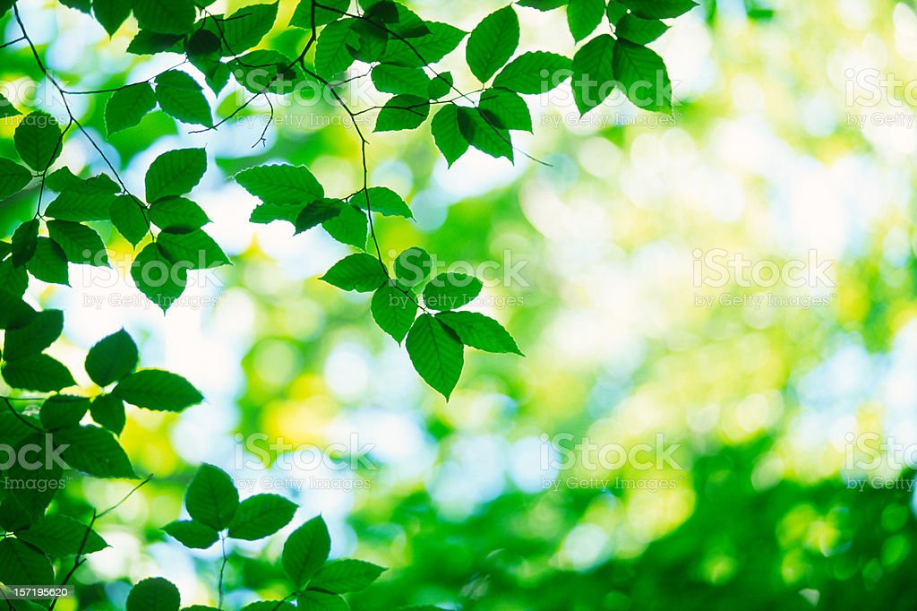 Green leaves in forest royalty-free stock photo