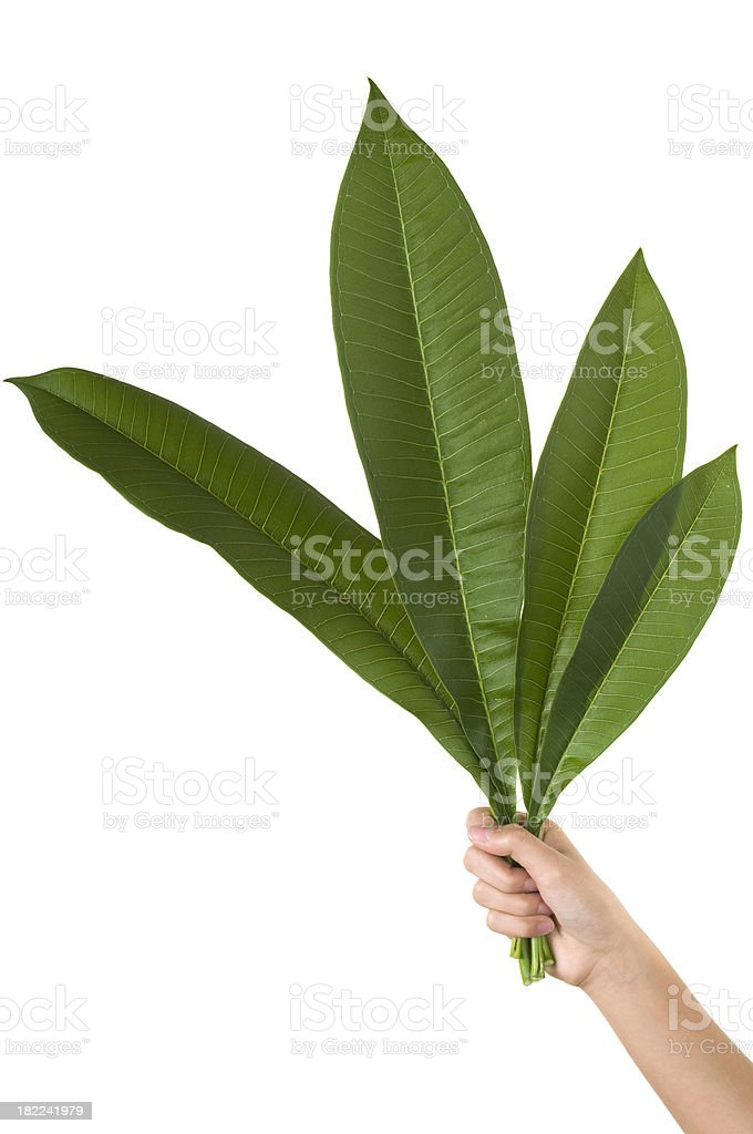 Green leaves in the hand royalty-free stock photo