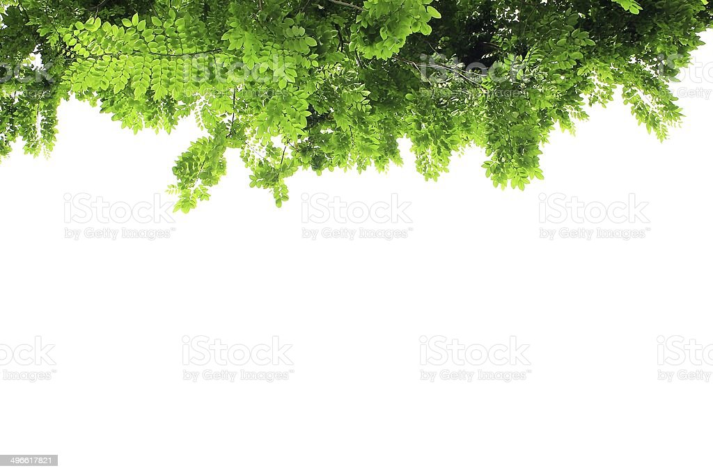Green leaves isolated background stock photo