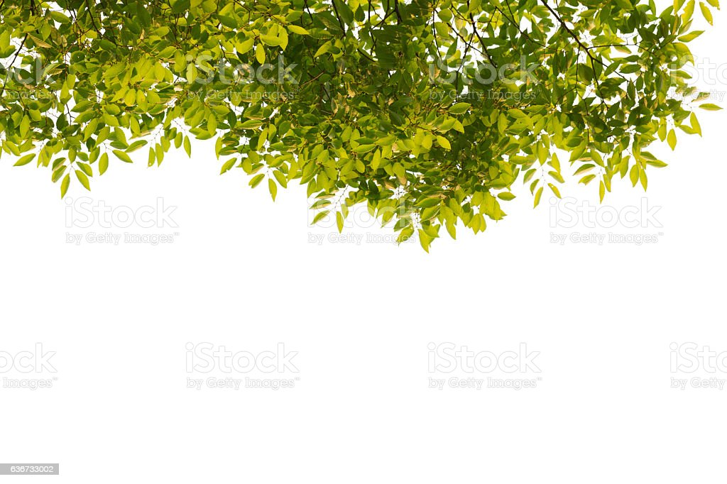 Green leaves isolated on white background. stock photo