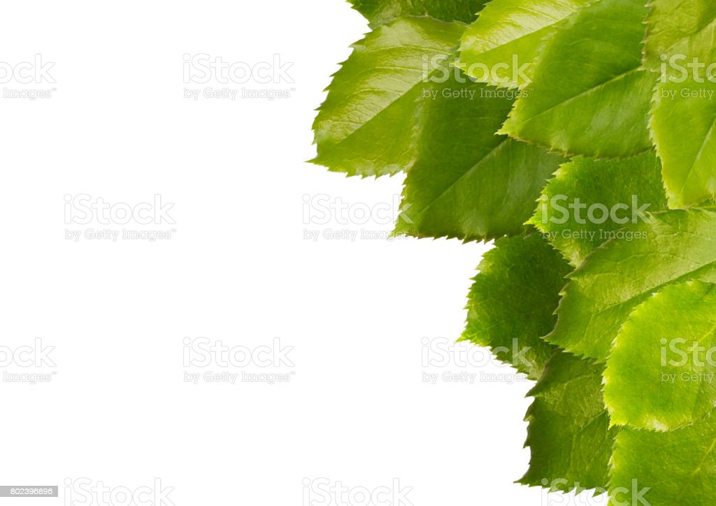 Green leaves isolated on white background, side view. stock photo