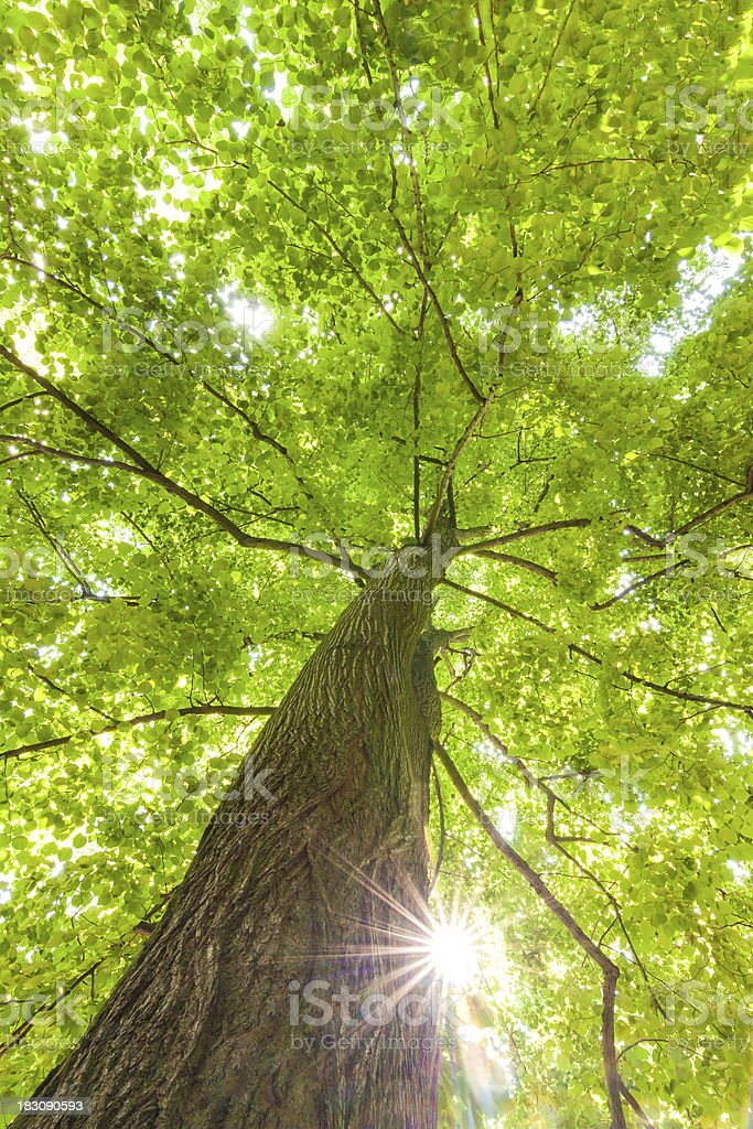green leaves of beech royalty-free stock photo