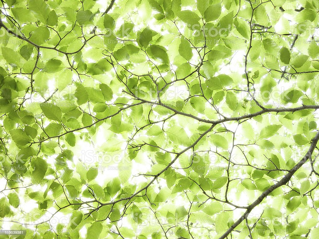 Green leaves of beech tree royalty-free stock photo