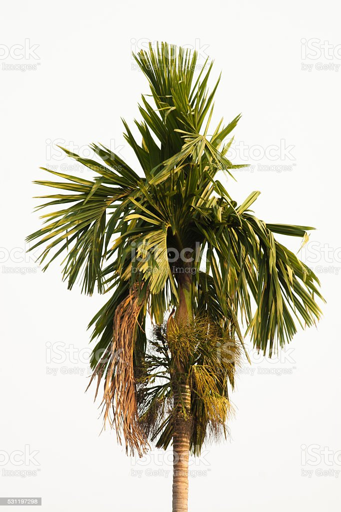 Green leaves of betel palm on white background royalty-free stock photo