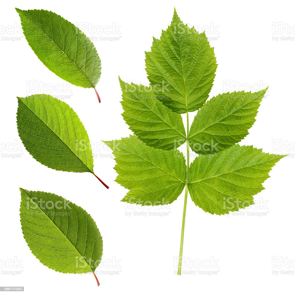 Green leaves of cherry and raspberry isolated stock photo