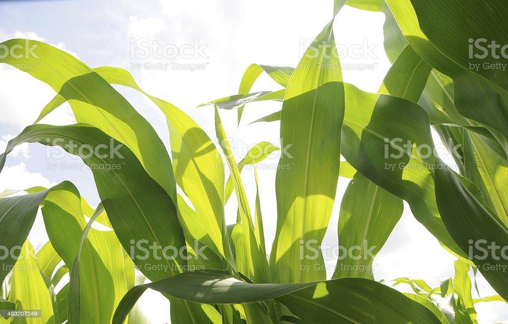 Green Leaves of Corn Stalks royalty-free stock photo