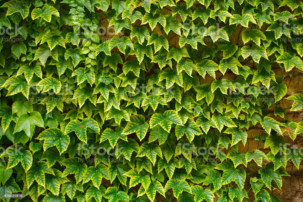 green leaves of grape stock photo