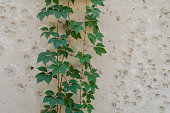 Green leaves of ivy on background of a stone wall