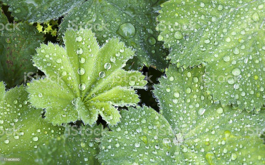 Green Leaves of lady's mantle ( Alchemilla mollis ). stock photo