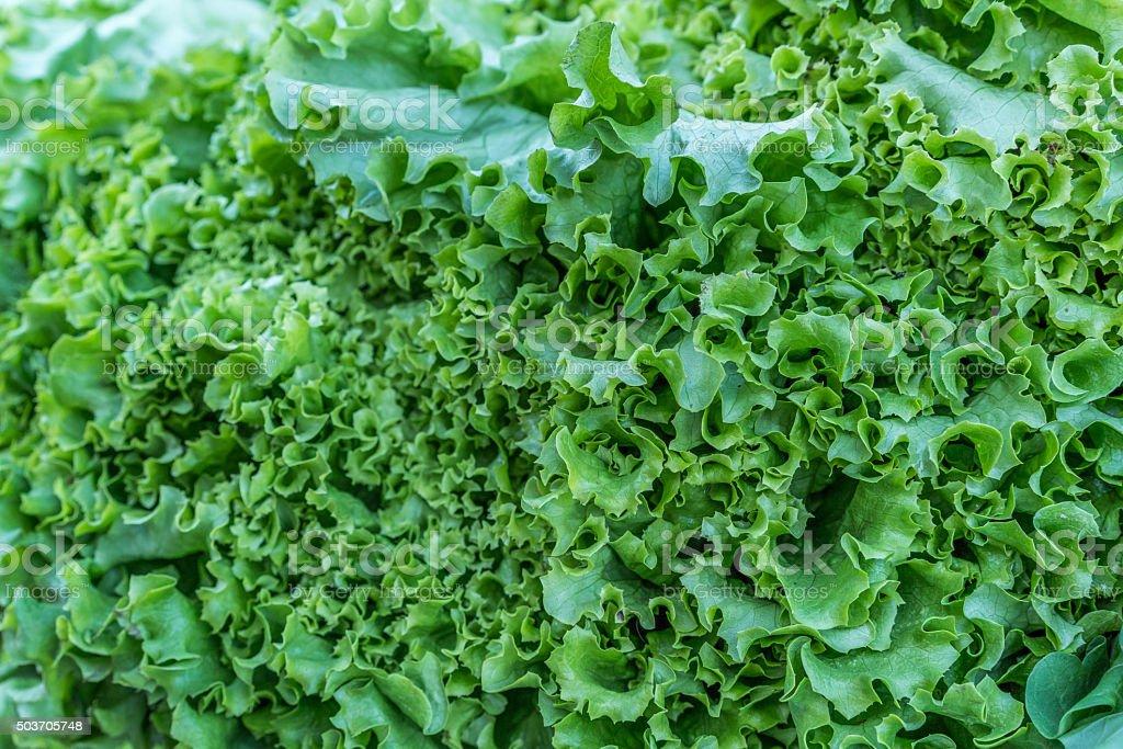 Green leaves of lettuce stock photo