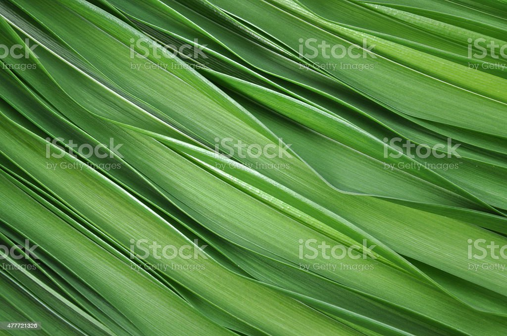 Green leaves of lily stock photo