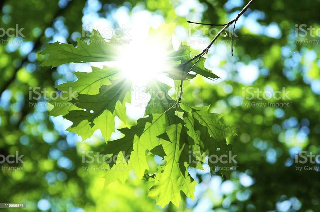 green leaves of maple stock photo