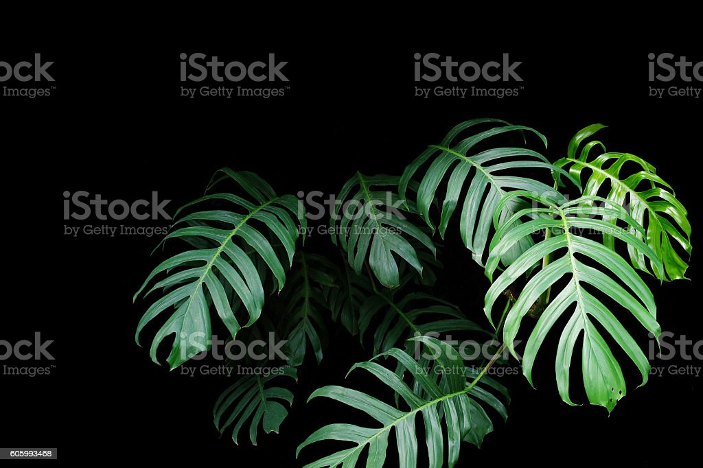Green leaves of Monstera plant growing in wild, forest stock photo