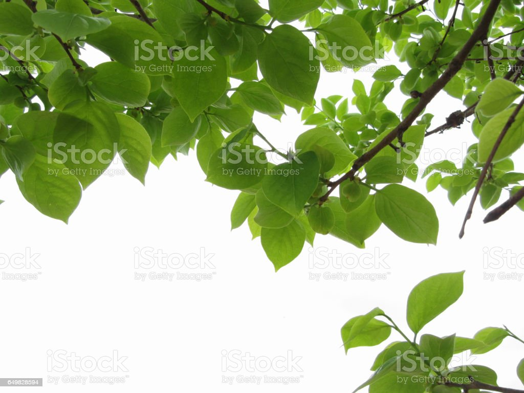 Green leaves of persimmon tree on white background stock photo