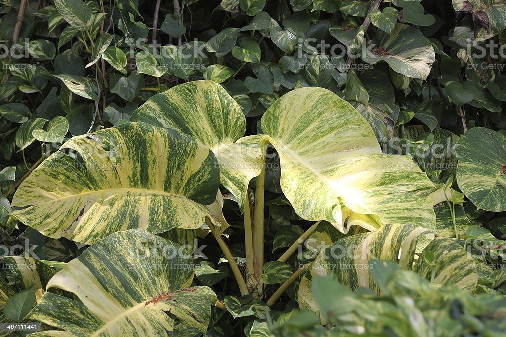 Green leaves of Scindapsus aureus. stock photo