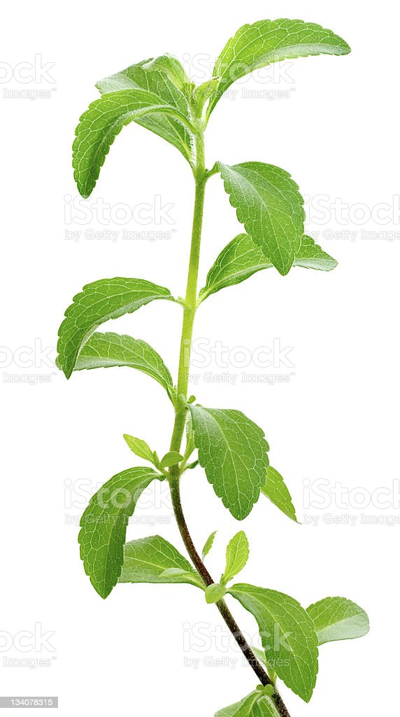 Green leaves of Stevia plant upon white background stock photo
