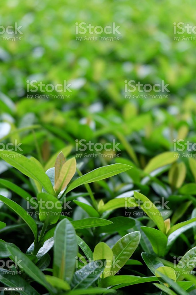 green leaves of the tree16 stock photo
