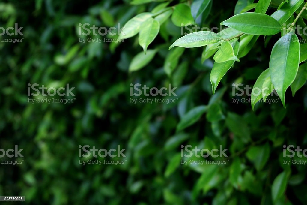 green leaves of the tree4 stock photo
