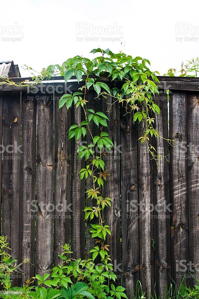 Green leaves of the wild uvas sobre fondo de madera natural. foto de stock libre de derechos