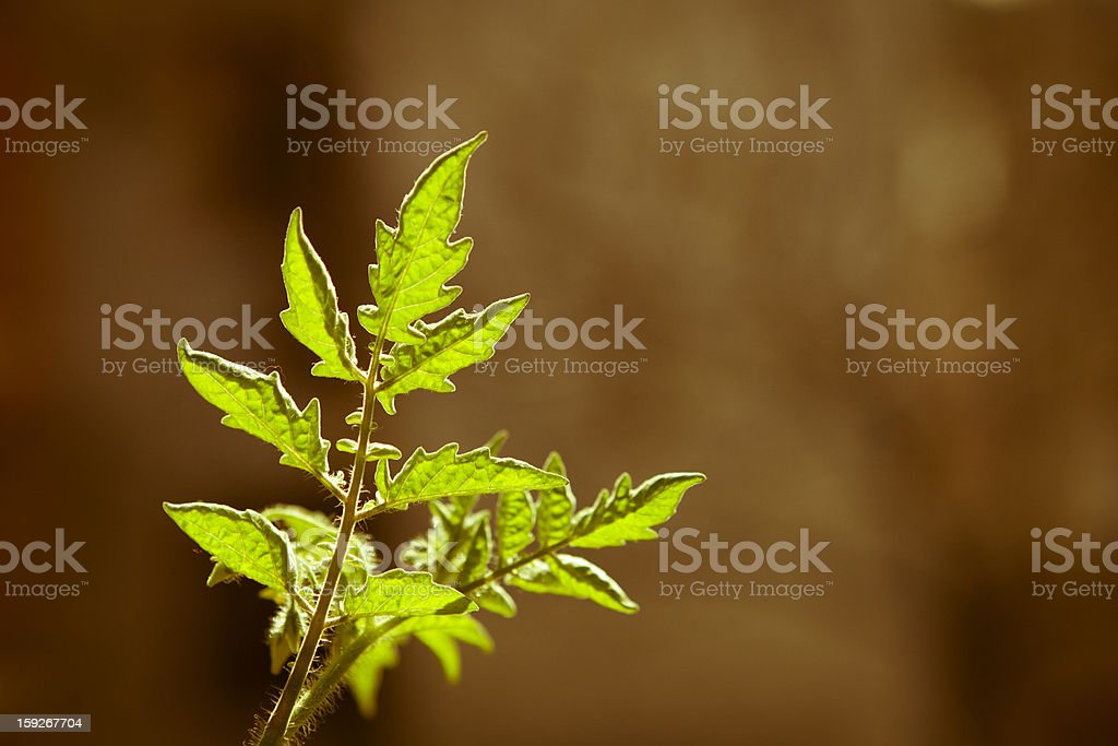 Green leaves of tomatoes on an old background. royalty-free stock photo