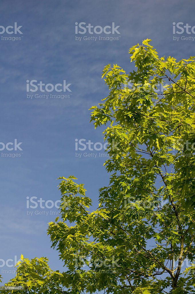 Green leaves of tree under a blue sky royalty-free stock photo
