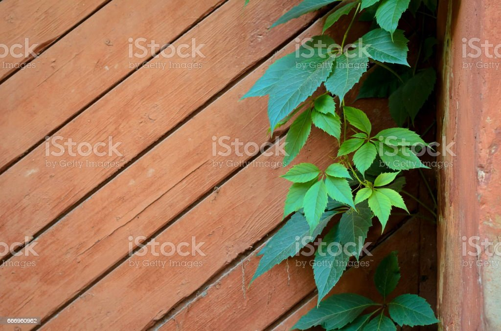 Green leaves of Virginia creeper on background of shabby painted wooden boards stock photo
