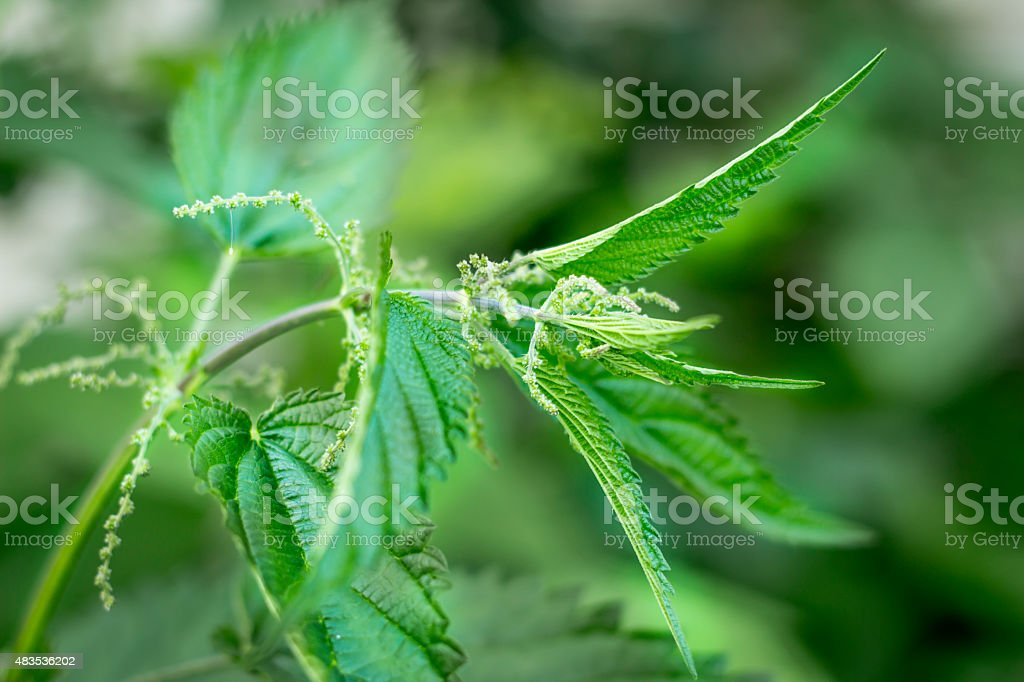 Green leaves of wild nettle stock photo