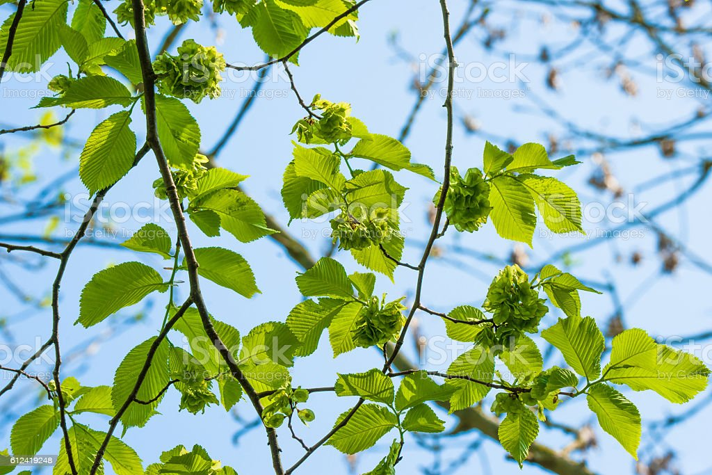 Green leaves on a elm tree stock photo