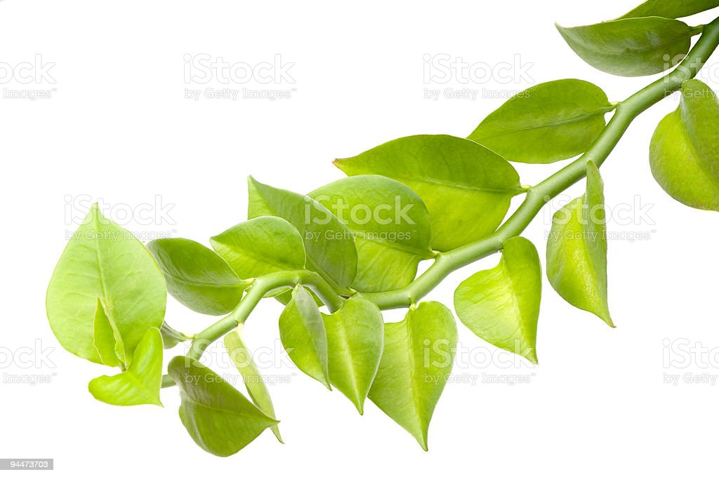 Green leaves on a green stem isolated on white background royalty-free stock photo