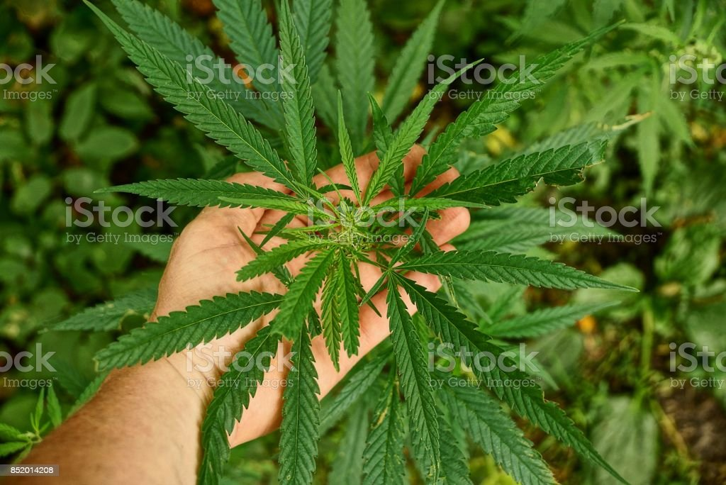 green leaves on a hemp bush in the palm of your hand stock photo