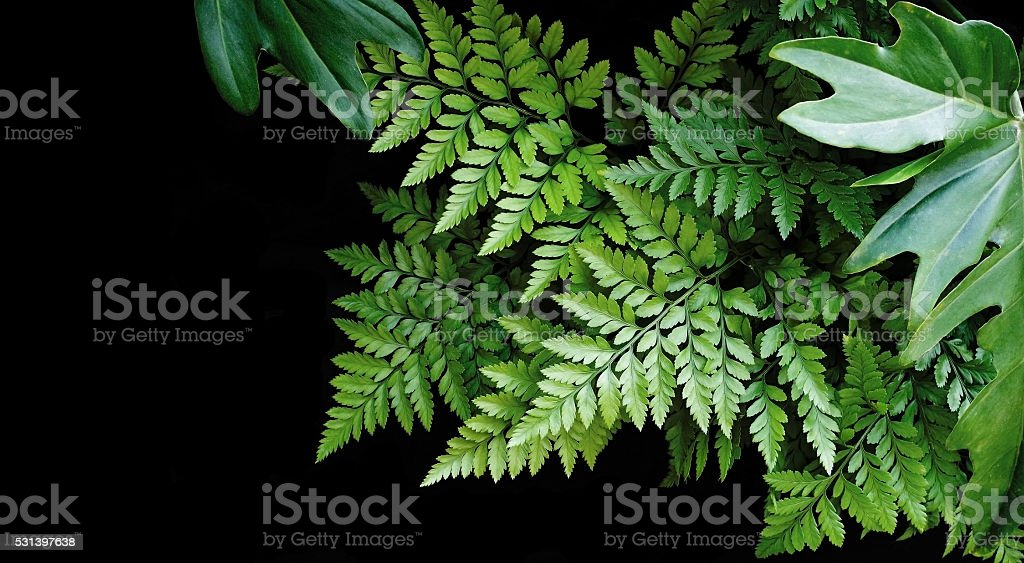 Green leaves on black background, soft focus, tropical forest co stock photo