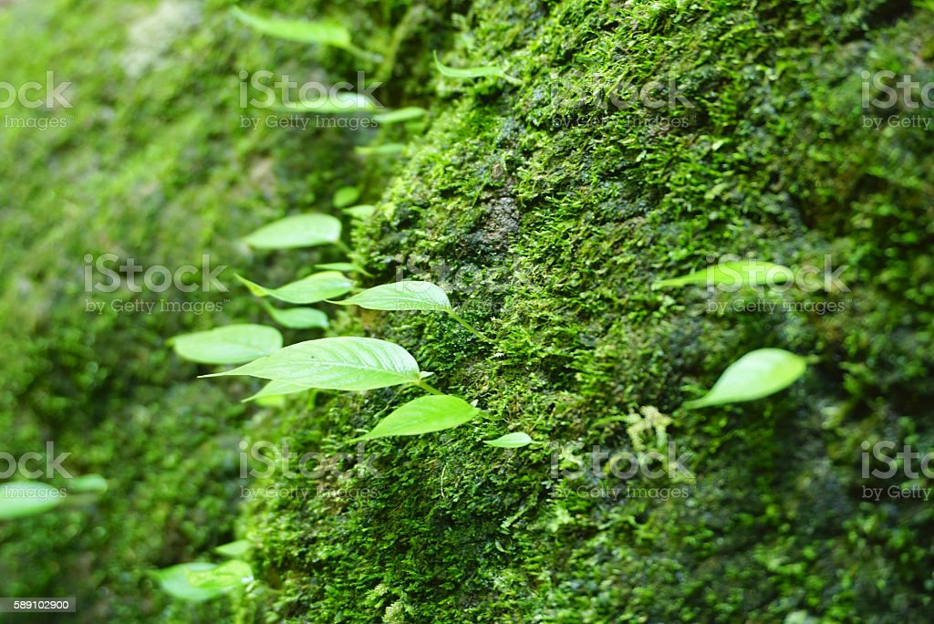 Green leaves on the rock that cover with green mosses stock photo