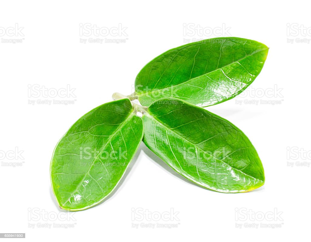 Green leaves on white bacjground stock photo