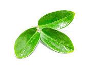Green leaves on white bacjground