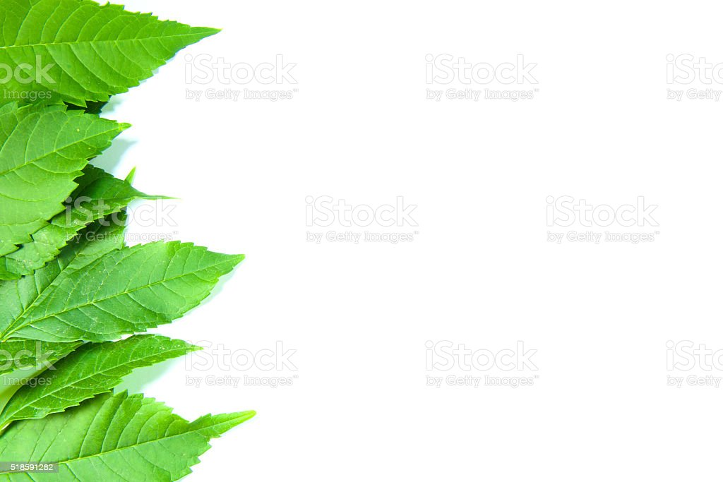 Green leaves on white background royalty-free stock photo