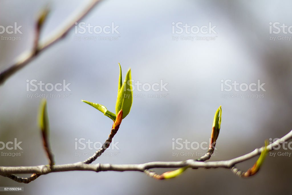 Green Leaves Popping Out On Branch (Close-Up) stock photo