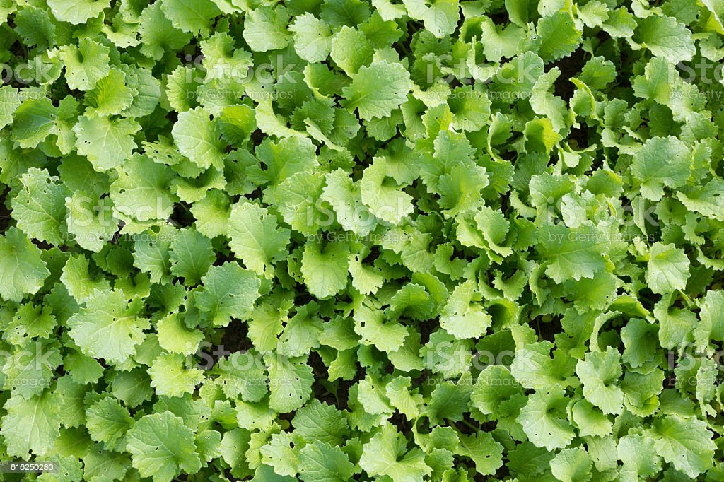 Green leaves radish plantation. Directly above view. stock photo