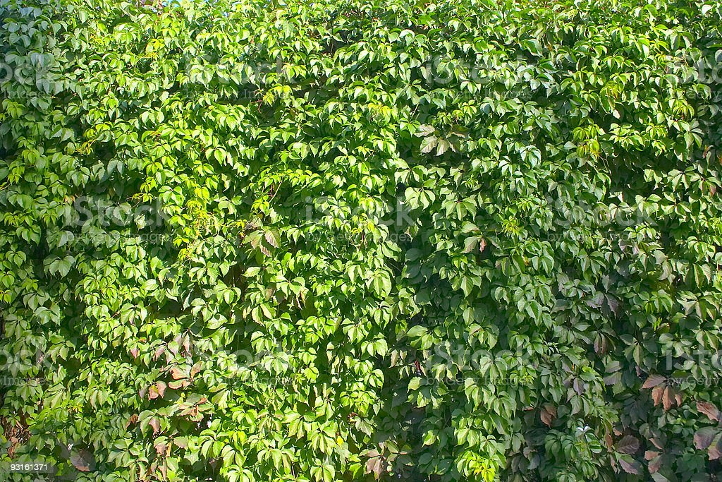 Green Leaves Texture royalty-free stock photo