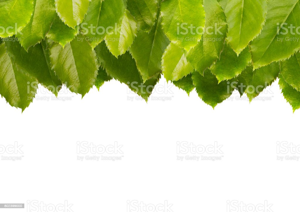 Green leaves top background, isolated on white. stock photo